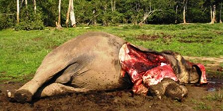WhiteEarthWhite EarthShameElephantSlaughteredNeedsToEndNow0001